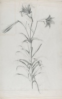 Artist Marion Adnams: Study of Lilies, 1930s